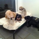 The Lhasa Laddies - Taffy, Neto, Hamish and Murphy.