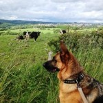 Kai checking out the cows